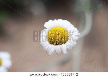 A white and yellow chamomile flower blooms in a summer herb garden.