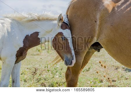 Mare and foal on a summer pasture near the sea in Puglia (Italy)