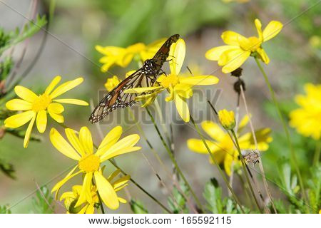 Close up of a Monarch butterfly drinking nectar from yellow daisy flowers