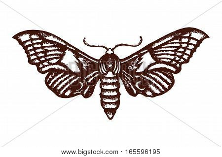 Smerinthus ocellatus. Sphingidae. Insect. The biological illustration. Wildlife. Entomology. Hand drawn. Vector illustration.