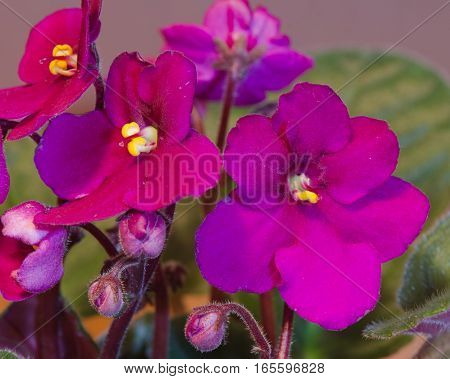 Close-up macro of an African Violet flower.