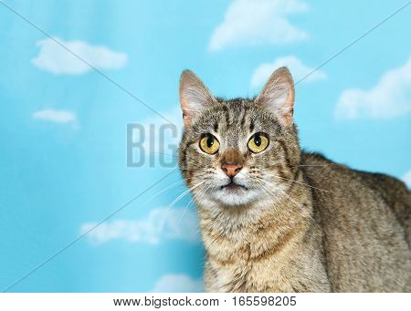 Portrait of a black and white tabby looking up to viewers left blue background sky with clouds. Copy space
