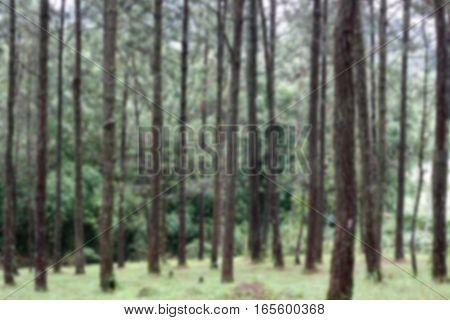 Blurred pine forest background,Blurred forest background,Blurred green background,Blurred brown background,Blurred tree background
