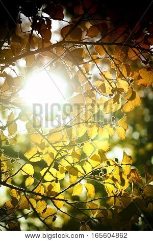 The sun breaks through the canopy of a birch tree in autumn.