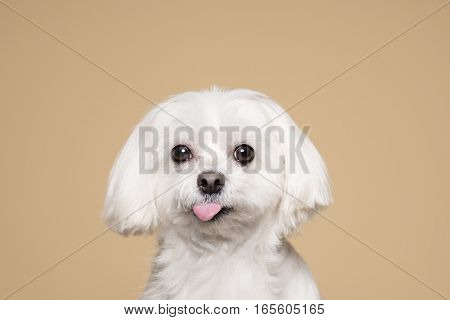 Cute white puppy posing in studio - Maltese dog