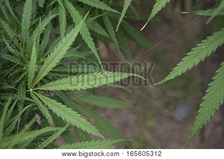 MARIJUANA LEAVES WITH COPY SPACE BETWEEN FOR BACKGROUND