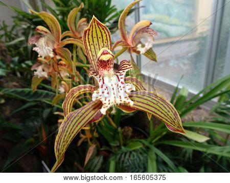Cymbidium tracyanum orchid flowers in a garden