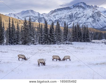 Wild Elk in winter Banff National Park Alberta Canada