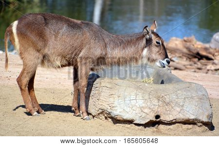 The waterbuck (Kobus ellipsiprymnus) is a large antelope found widely in sub-Saharan Africa. It is placed in the genus Kobus of the family Bovidae.
