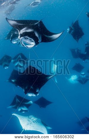 School of Manta Ray in Hanifaru Bay