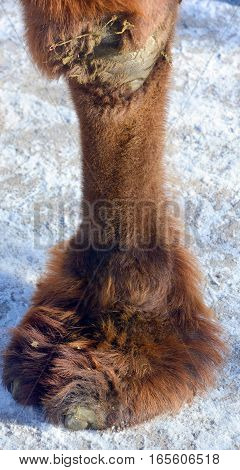 Camel leg is an ungulate within the genus Camelus, bearing distinctive fatty deposits known as humps on its back. There are 2 species of camels: the dromedary l has a 1 hump, and the bactrian has 2 humps