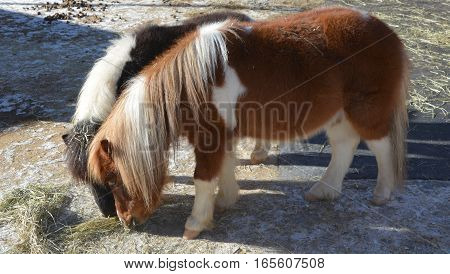 Miniature horses are the size of a very small pony, many retain horse characteristics and are considered horses by their respective registries. They have various colors and coat patterns