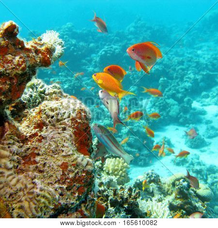Coral reef with shoal of fishes scalefin anthias in tropical sea underwater