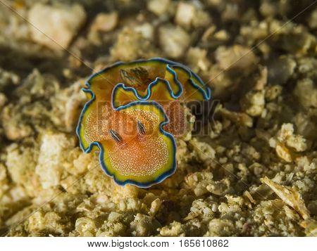 Nudibranch Glossodoris Cincta, Sea Slug