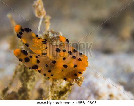 Thecacera Sp. Nudibranch, Sea Slug