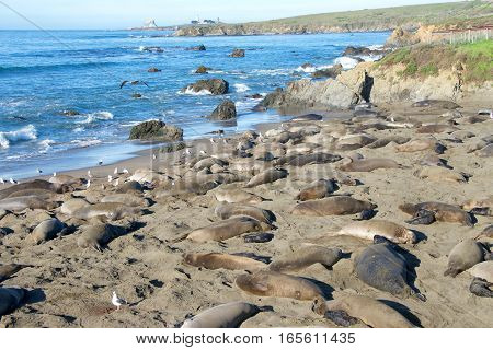 Elephant seals on the beach along the central coast of California. The Piedras Blancas elephant seal rookery spreads over 6 miles of shoreline around Point Piedras Blancas.