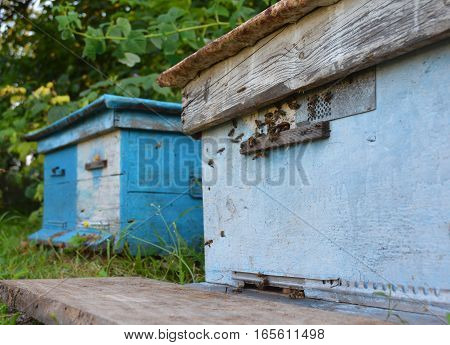 Bee Hives: Beekeeping. Swarm of honeybees coming and going around blue beehives in a bee farm.