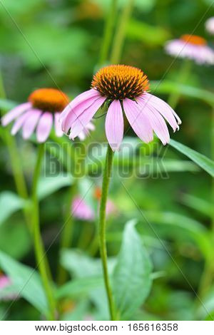 Two Coneflowers in the Garden. Echinacea purpurea and purple coneflowers flower bed with copy space. Echinacea Benefits and Uses.