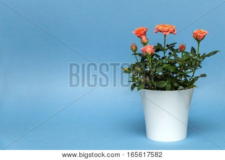 beautiful pink rose in white pot on blue background