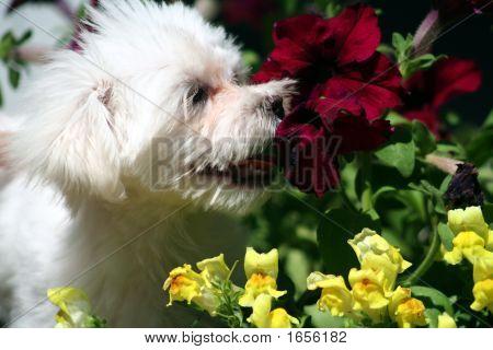 Maltese Smelling Flowers