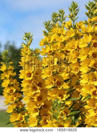 The bright yellow flowers of the perennial plant Lysimachia punctata, also known as Loosestrife.