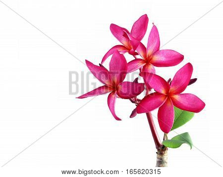 pink plumeria flowers , frangipani colorful  tropical flowers bloom summer