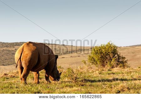 Side View Of A Black Rhinoceros Eating Grass