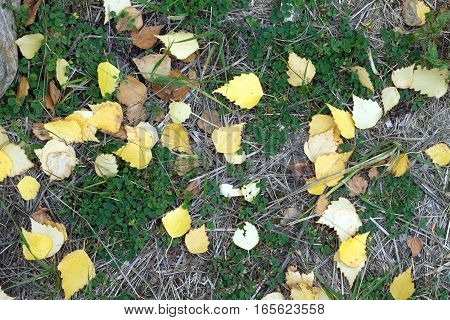 Still life with fallen yellow birch leaves on a ground in autumn. Close up view