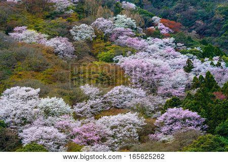 White and pink wild cherry blossoms on Mount Arashi in the Arashiyama area of Kyoto, Japan