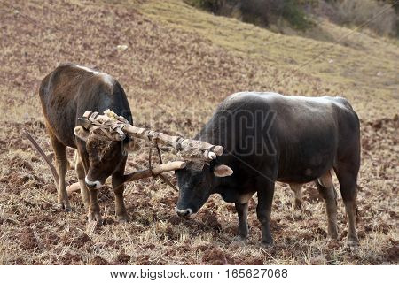 Two bulls and wooden plow Peru South america