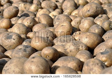 the stack of freshly harvested potato in the field