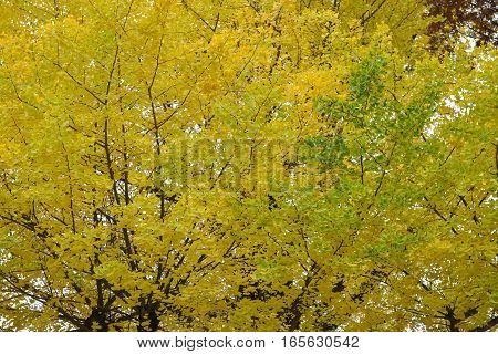 The ginkgo leaves change color as background