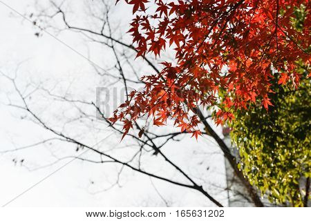 Maple leaves is change color to orange