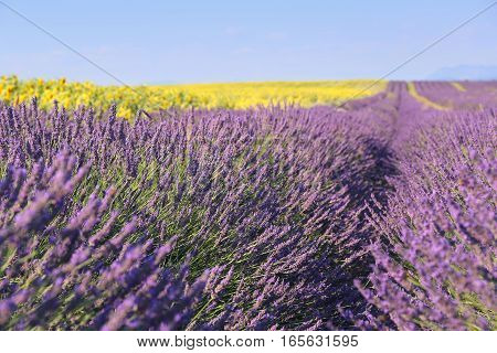 Landscape Provencal: lavender field and sunflowers field. Focus selective
