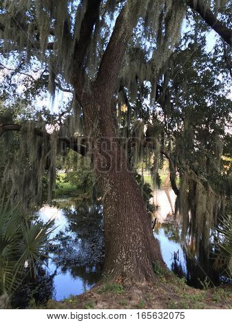 Cypress Tree with hanging moss in New Orleans Louisiana