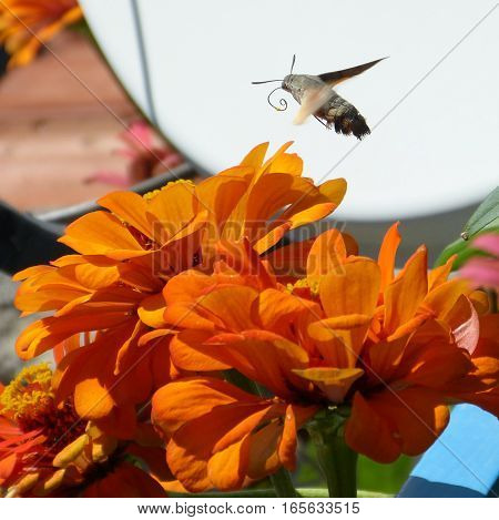 A lovely moth flying over colourful flowers.