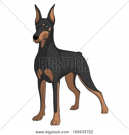Color vector image of a Doberman. Isolated object on white