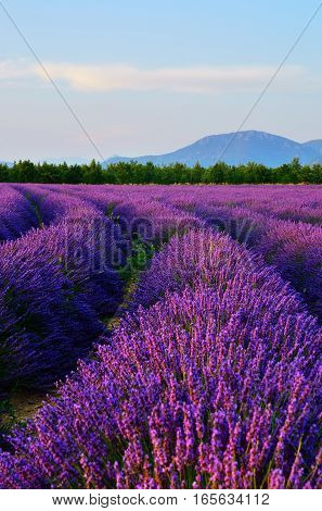 Stunning landscape with lavender field at evening Alps mountain in background. Plateau of Valensole Provence France