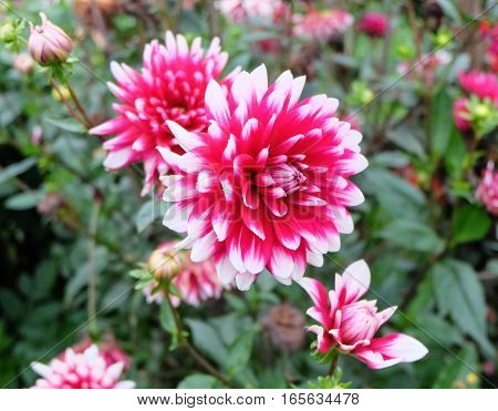 Closeup of a very bright dahlia (dalia) with white, pink and magenta colored petals in the garden. It is blooming and surrounded by other similar colored dahlias.