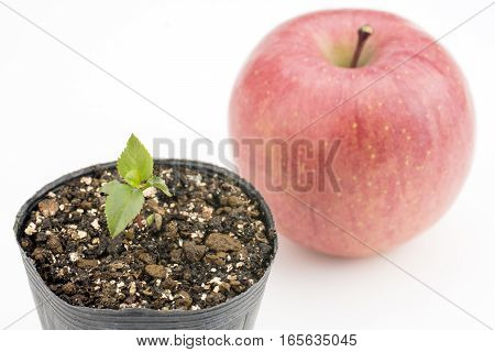 Apple tree sprout in front of apple fruit