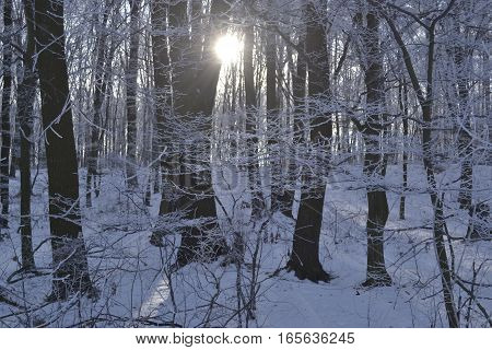 the rays of a sun break through barrels tree the forest is covered a hoarfrost by a winter
