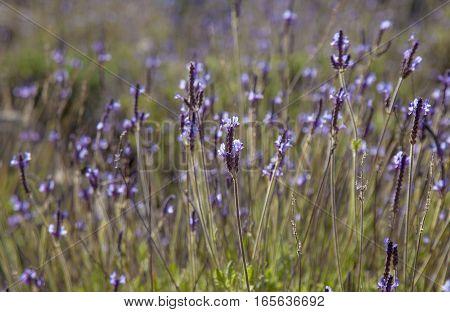blooming canarian lavender Lavandula canariensis natural background