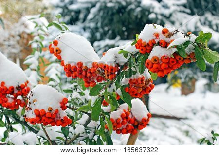 Pyracantha coccinea in the garden in winter