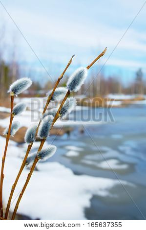 Twigs of willow with catkins on the lake in early spring