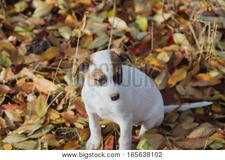 Young puppy plays outdoors on a sunny autumn day. Cute little puppy sitting on fall leaves at countryside.