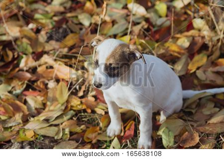 Young puppy plays outside on a sunny autumn day. Cute little puppy sitting on fall leaves at countryside.