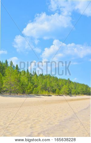 Beach and pine forest at sunny morning the Karelian Isthmus Russia.