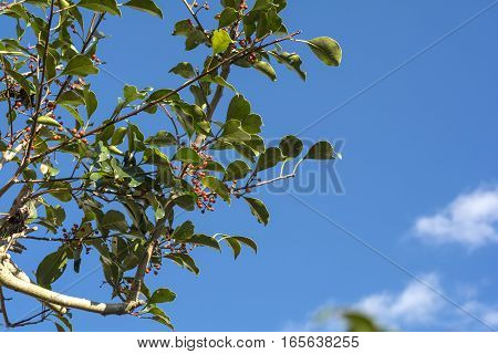 Round Leaf Holly tree with red fruit under blue sky