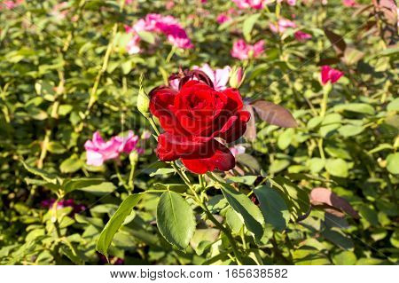 in the photo beautiful bush of scarlet roses