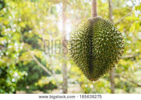 fresh durian in the farm Thai King fruit